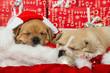 Weihnachtswelpen - 166694235