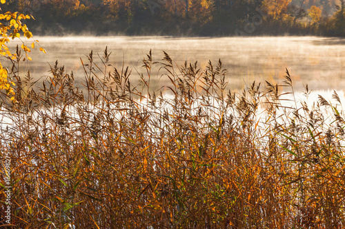 Reeds at the lake in fog in autumn