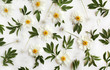 Flat lay floral pattern made of white peony flowers, green leaves and pasque-flower seeds on white background. Top view. - 166711098