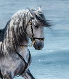 Portret blisko hiszpański czystej krwi szary koń z długą grzywa
