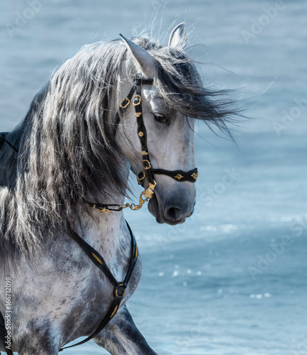 Portrait close up Spanish purebred gray horse with long mane