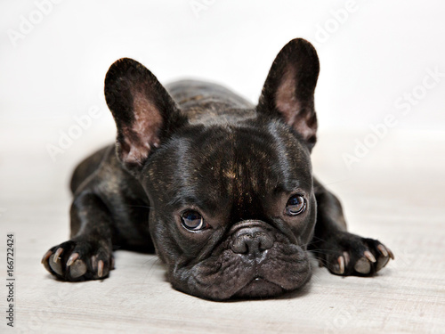 FOTOS BULLDOG FRANCES, SESION DE ESTUDIO.