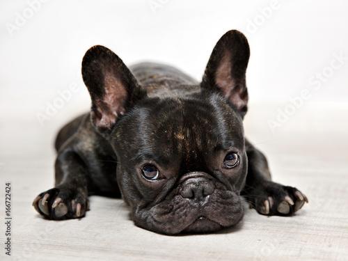 Keuken foto achterwand Franse bulldog FOTOS BULLDOG FRANCES, SESION DE ESTUDIO.