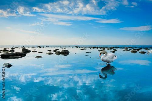 Swan in the sea landscape
