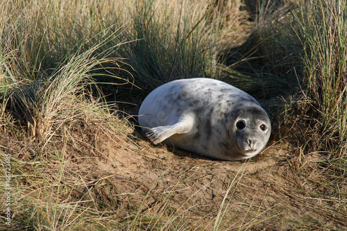 Common seal pup Poster