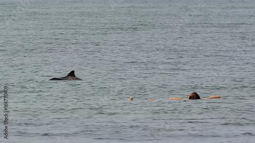 Schweinswale schwimmen neben badendem Mann vor der Nordseeinsel Sylt