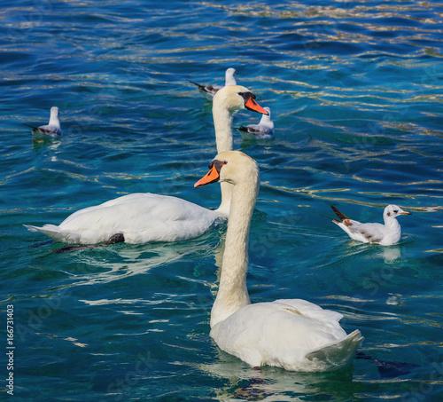 Swans and gulls on Lake Geneva in Switzerland