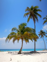 Palms in a beach in Half moon Caye, Belize