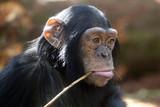 Young Chimpanzee - 166750818