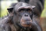 Chimpanzee - 166750868