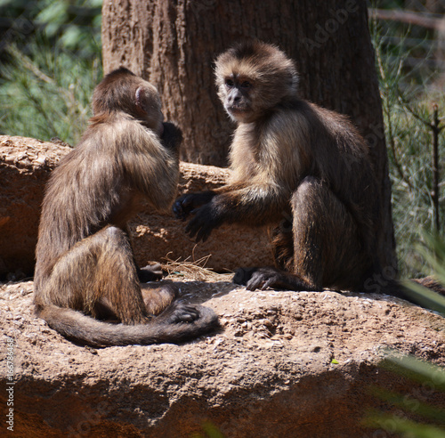 Two little monkeys playing together