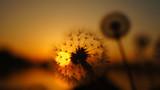 blurred dandelion background