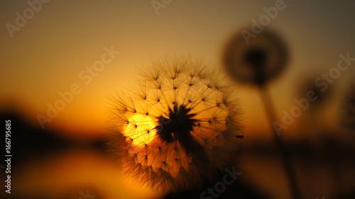 Poster blurred dandelion background