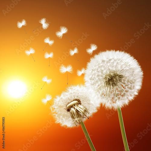 Schöne Pusteblumen beim Sonnenuntergang