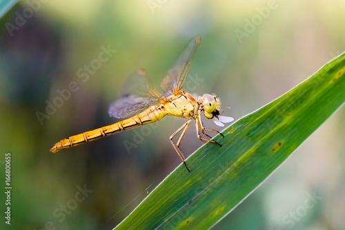 Sympetrum striolatum, also known as common darter, eating an insect
