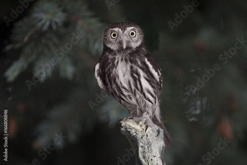 Pygmy Owl - Ferruginous (Glaucidium brasilianum) Perched - 166808846