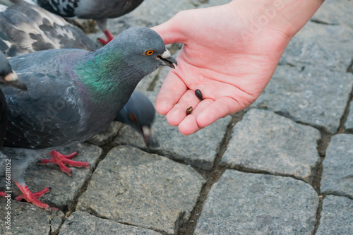 Street pigeon pecks sunflower seeds from his palm, summer landscape