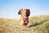 Hund Dackel rennt und springt über eine Wiese und die Ohren fliegen