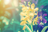 Fototapety Orchid flower in garden at winter spring for postcard beauty. agriculture idea concept design. Orchids are export business products of Thailand that make a lot of money. Vintage style effect picture.