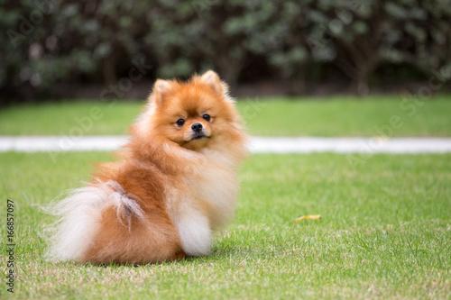 Pomeranian dog in the garden