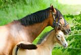 Konie w Szwecji