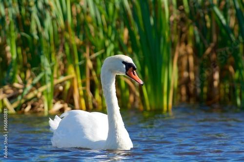 Swan in Sweden