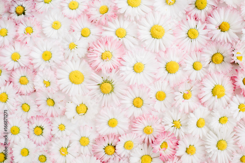 Floral pattern of white and pink chamomile daisy flowers. Flat lay, top view. Floral background. Pattern of flower buds.