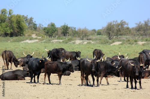 Bel élevage en Camargue