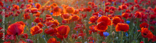 Papiers peints Rouge mauve Poppy meadow in the beautiful light of the evening sun