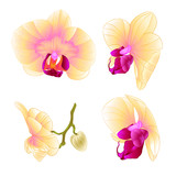 Yellow Orchid Phalaenopsis beautiful flower closeup set second vintage  vector editable illustration hand draw