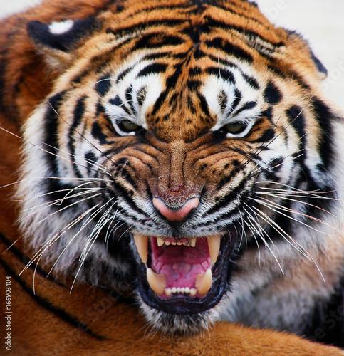 Tygrysia twarz pełna ramka