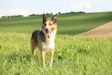 Hund im Freien Feld
