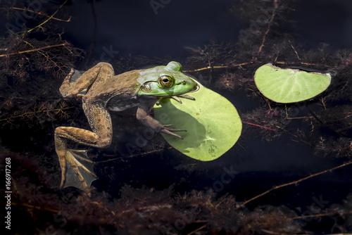 American Bullfrog at Rest