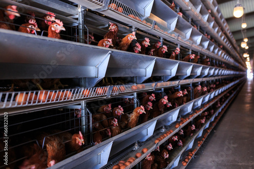 Factory Chicken egg production. Red chickens are seated in special cages. Linear perspective. Agribusiness company.