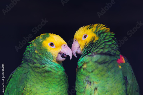 Two colorful parrots in friendly talk, Amazona ochrocephala oratrix, portrait.