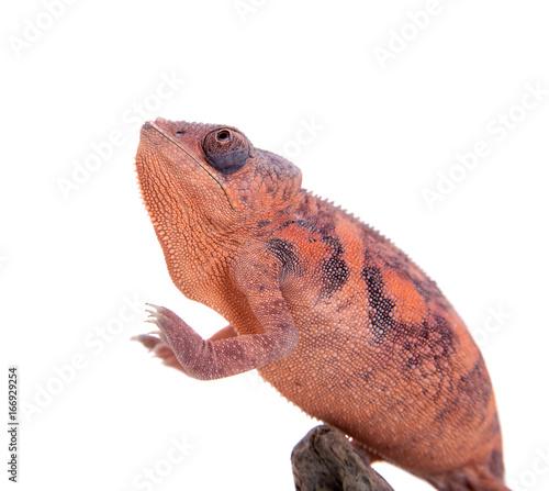 The panther chameleon, Furcifer pardalis on white