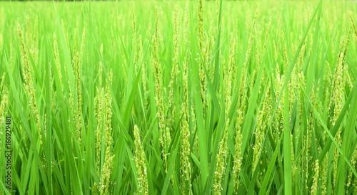 稲の花 風景 田園風景 日本