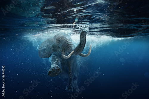 Swimming African Elephant Underwater Poster
