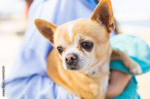 Chihuahua pet dog Poster
