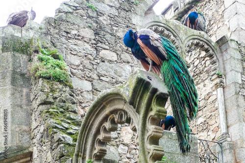 Foto op Aluminium Pauw Peacocks Nesting - Closeup
