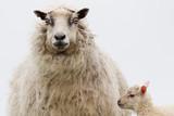 Pecora ovis aries isole Shetland Scozia al pasco con agnelli - 166945808