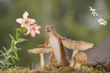 squirrel behind mushrooms with daisies