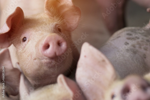 Small piglet waiting feed in the farm. Pig indoor on a farm yard in Thailand. swine in the stall. Close up eyes and blur. Portrait piggy. - 166953694