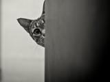 Savanah Kot peeking za rogiem