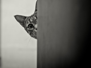 Savanah cat peeking around corner