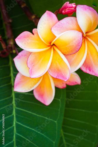 Plumeria flower color