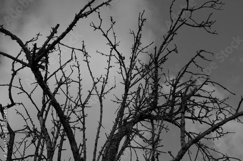 Ramas de un gran árbol muerto. La fotografía está en blanco y negro.