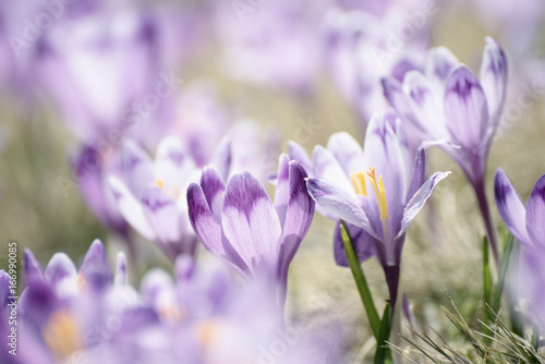 Fotobehang Purper Beautiful violet crocus flowers growing on the dry grass, the first sign of spring. Seasonal easter background.