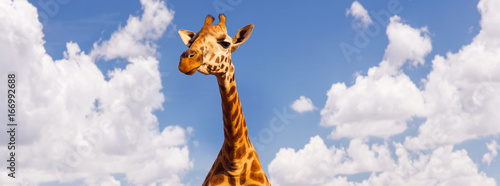Fototapeta giraffe head over blue sky and clouds background