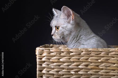 Scottish straight cat in box .
